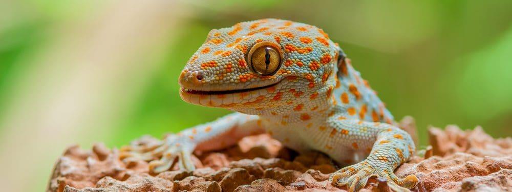 tokay gecko in a wild e1579120363775