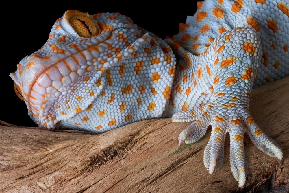 tokay gecko passport picture