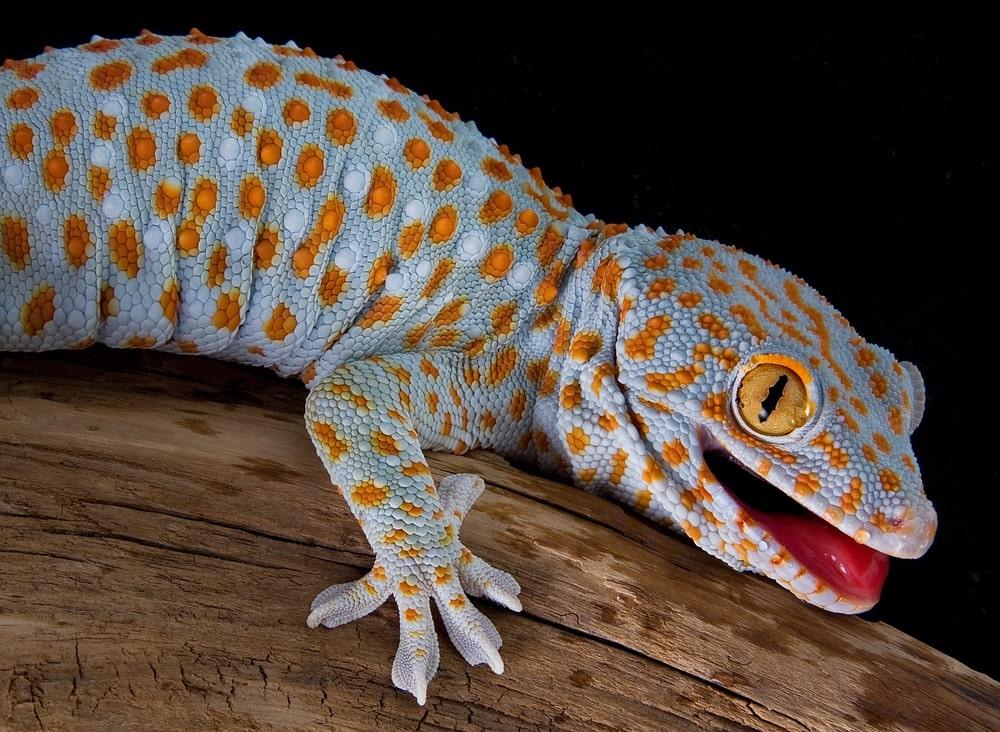 tokay gecko pet