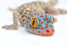 Tokay Gecko Care Guide & Info