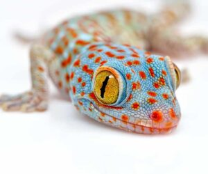 tokay gecko white background