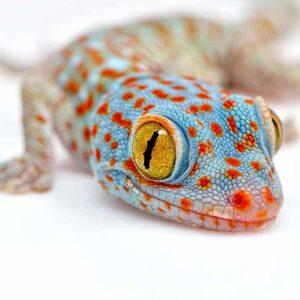 Tokay Gecko – Care Guide & Info