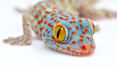 tokay gecko white background