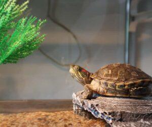 big old turtle in big aquarium