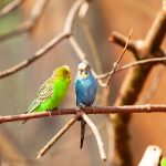 8 Different Sounds Budgies can Make