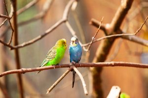 two budgies