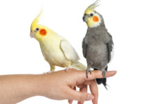 How to Teach Your Cockatiel Tricks