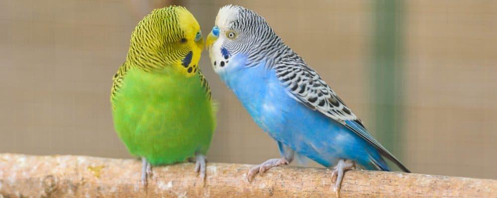 two parakeets 1 e1579290091458