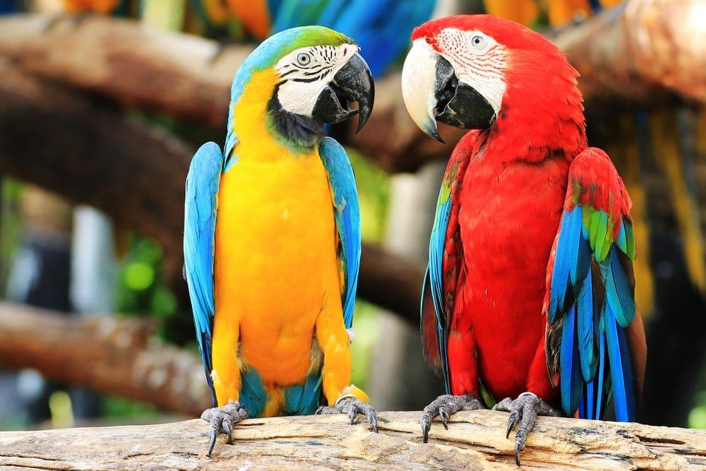 two parrots talk