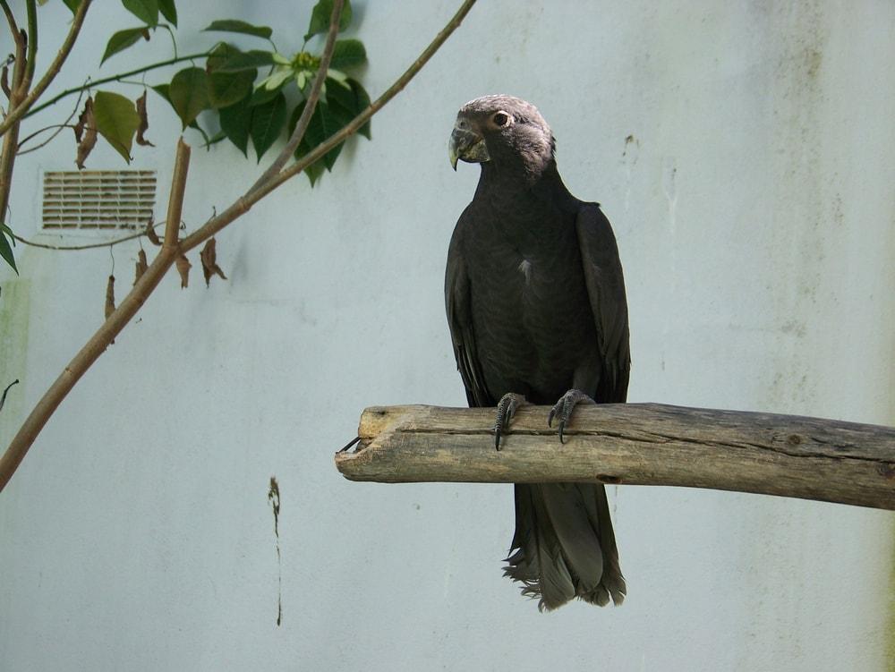 vasa parrot branch