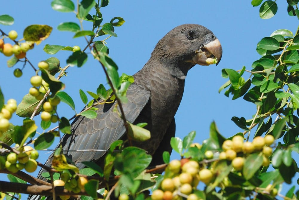 vasa parrot sits in tree