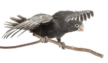vasa parrot ready to fly
