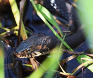 watersnake close up