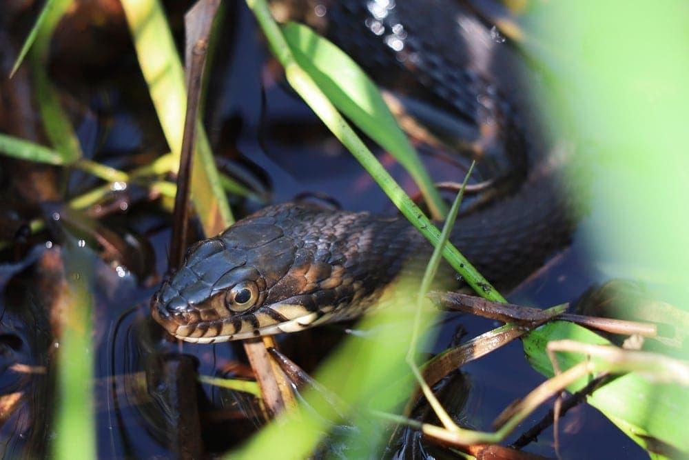 watersnake close up