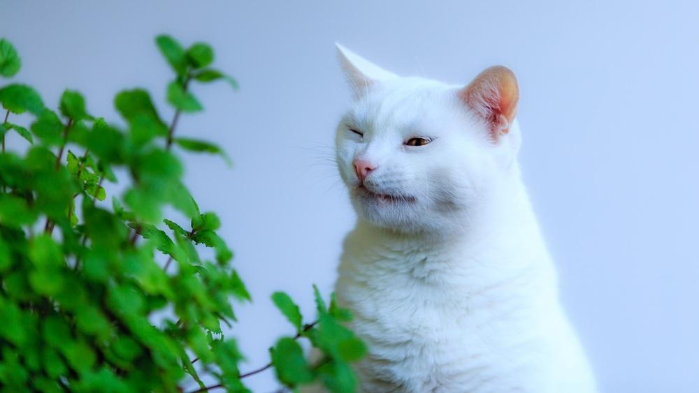 white cat sneeze