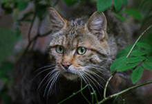8 Cat Breeds That Look Like Wild Cats