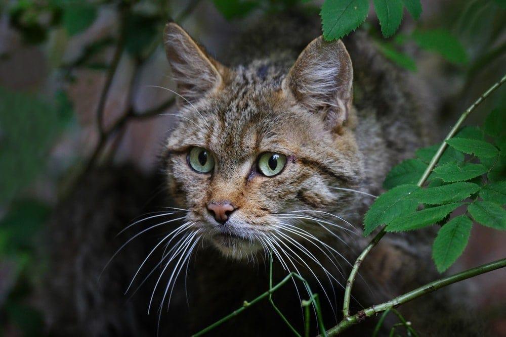 wild cat 1