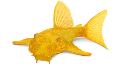 yellow Bristlenose pleco