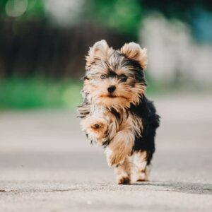 Are Yorkshire Terriers Good With Children?