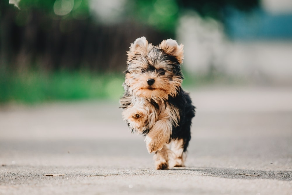 yorkshire terrier running