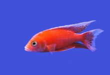 African Cichlid Care Guide - Types, Breeding & More