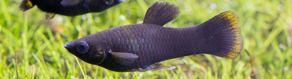 Black Molly pair in aquarium e1580762468566