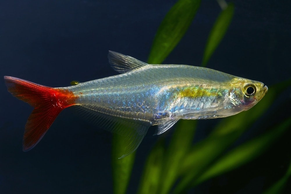 Bloodfin Tetra black background
