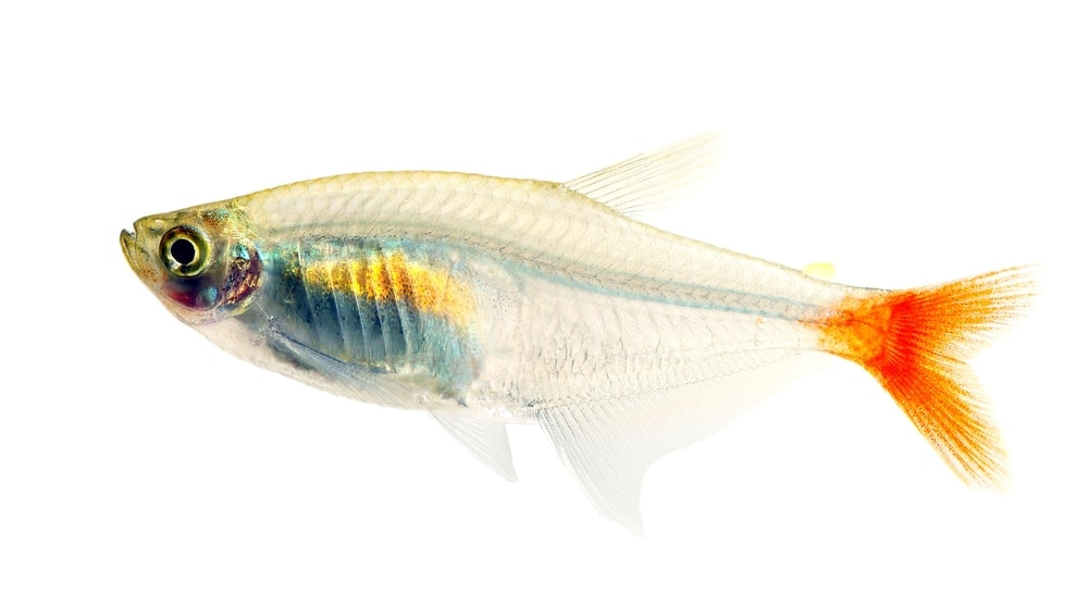 Bloodfin Tetra isolated white background