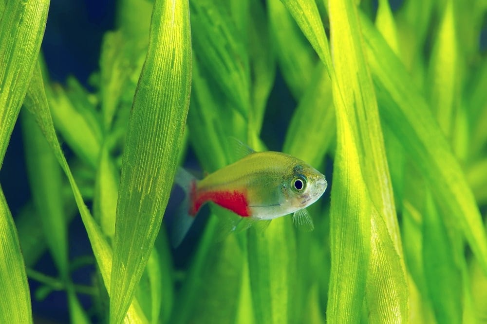 Bloodfin Tetra swimming in a grass