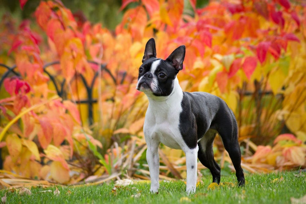 Boston Terrier 1
