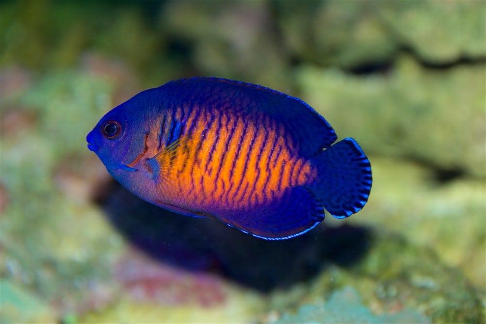 Coral Beauties