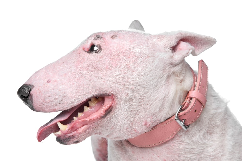Crusty Scabs on bullterrier