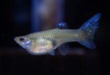 Dropsy in Fish - Causes, Symptoms & Treatment