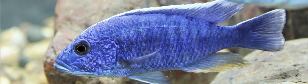 Electric Blue Cichlid in a stones e1580754740132