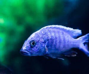 Electric Blue Cichlid in an aquarium
