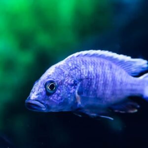 Electric Blue Cichlid Care Guide - Diet & Breeding