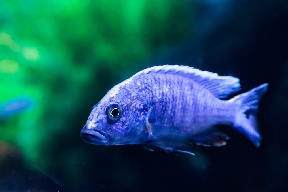 Electric Blue Cichlid in an aquarium