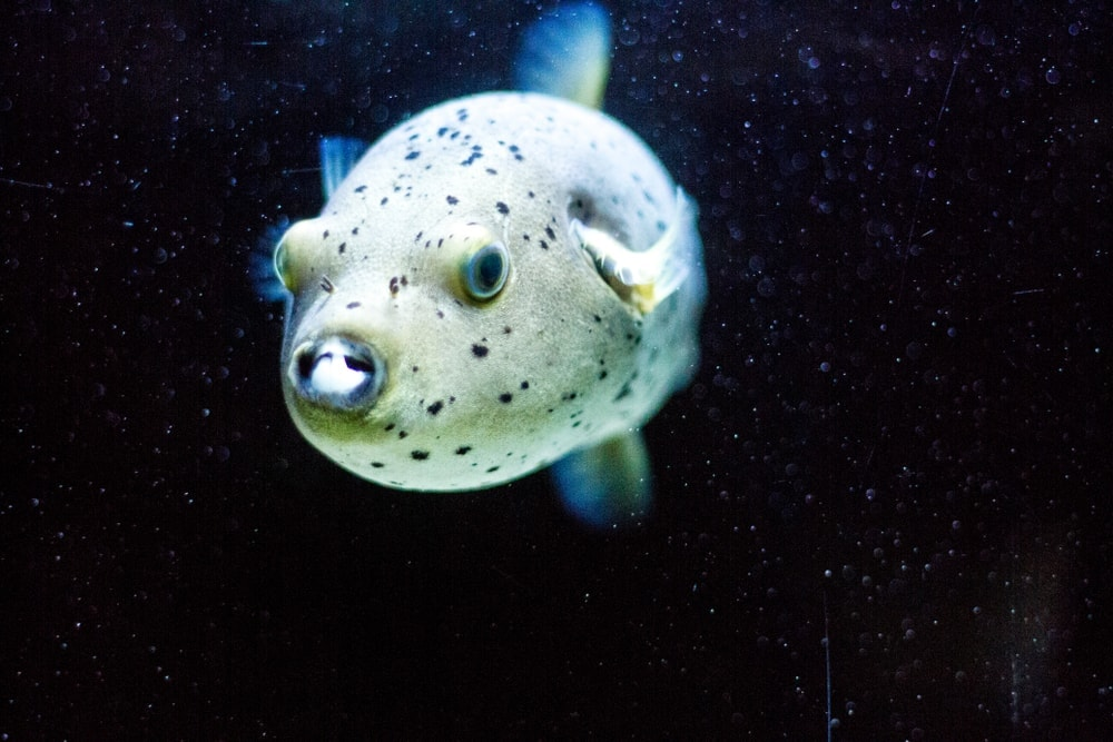 Freshwater Pufferfish black background