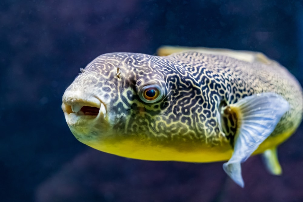 Freshwater Pufferfish giant pet