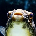 Freshwater Pufferfish - Care Guide and Info