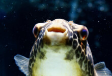 Freshwater Pufferfish Care Guide - Diet & Tank Info