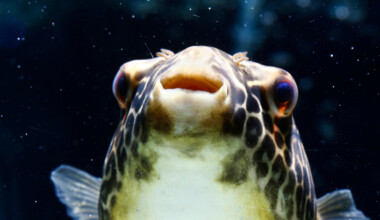 Freshwater Pufferfish portrait