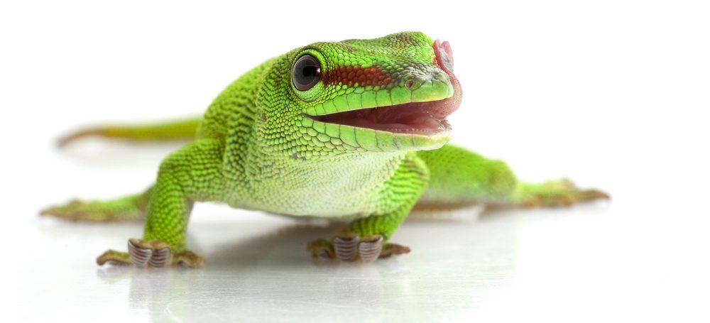 Giant day gecko white bg 1 e1580756502779