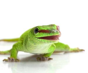Giant day gecko white bg