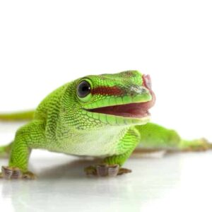 Giant Day Gecko Care guide & info