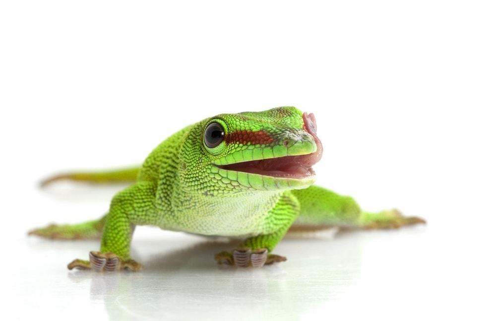 Giant day gecko white bg