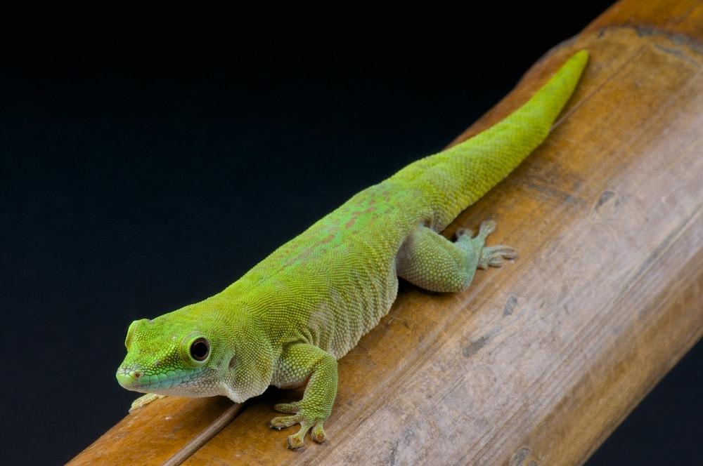 Giant day gecko wood
