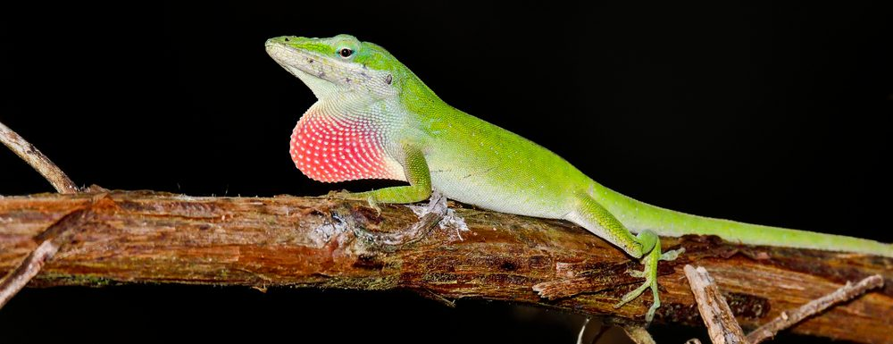 Green Anolis on branch 1 e1580927376663
