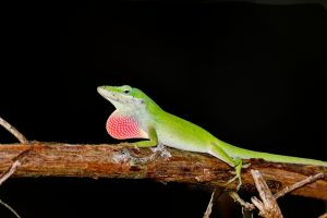 Green Anolis on branch