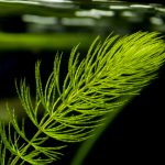 Hornwort Care Guide